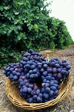 20- CONCORD GRAPE SEEDS, organic grown in the U.S.  we only ship to the U.S