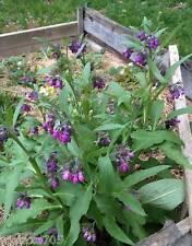 Grande consoude  5 plantes, bio