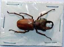 CYCLOMMATUS MODIGLIANI  - unmounted beetle 28-30MM