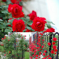 100PCS  Beautiful Rose Seeds Climbing Rose Seeds Lots Rare Perennial Rosa Seeds