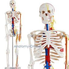 Modelo de esqueleto humano | con vasos sanguíneos y cerebro |Esqueleto humano