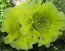 Winter Hardy Opuntia Prickly Pear Cactus Chartreuse Blossoms!!!