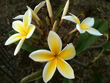 PLUMERIA CUTTING-name (MAUI SUN ) 12-13 INCH CUTS Fregrent Easy To Grow