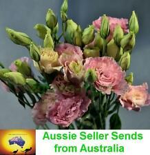 Lisianthus Feather FLURO PINK 20 pelleted seeds Au seller