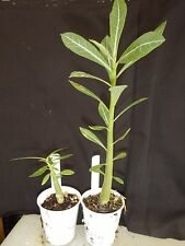 His Majesty Adenium Obesum Desert Rose Rooted Seedling Plant