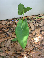 Green Elephant Ear Starter Plant