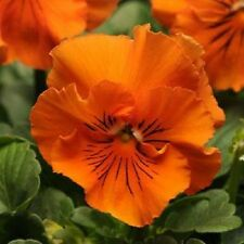 Pansy Frizzle Sizzle Orange 10 Seeds       Garden Seeds 2u