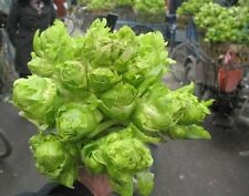 Vegetable seed - brassica juncea coss mustard greens Jie cai seeds organic