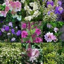 MIXED SELECTION OF 20 HARDY SHRUBS AND HEBES QUALITY GARDEN PLANTS IN POTS