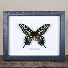 Female Madagascar Giant Swallowtail (Pharmacophagus antenor)  insect taxidermy