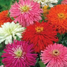 Zinnia Cactus Summer Hybrid Flower Seeds | High Yield Variety | 20 Seeds