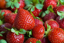 50 EVERSWEET EVER BEARING STRAWBERRY PLANTS - Large, Sweet & Juicy berries