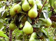 20 Heirloom Bartlett Pear Seeds Exquisite Edible Landscape Fast Growing Non GMO