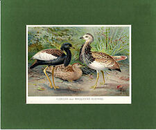 FLORICAN and MACQUEEN'S BUSTARD  - MOUNTED ANTIQUE CHROMO LITHO PLATE(1900)
