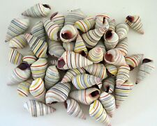 Land snails seashells Candy striped (25 shells) Liguus virgineus