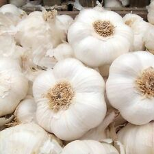 PACK OF10 -'ALBIGENSIAN WIGHT' GARLIC SEEDS BULBS-PLANTING NOW–100+++CLOVES