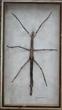 REAL Walking Stick Insect Bug Taxidermy Display Collection in wooden box Frame#6
