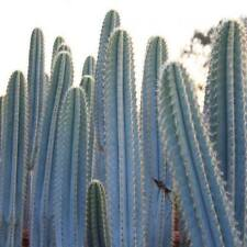 Cactus  -  Pilosocereus Azureus  -  *The Blue Torch cactus*  -  5 small seeds