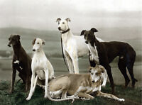 GREYHOUND CHARMING DOG GREETINGS NOTE CARD BEAUTIFUL GROUP OF FIVE DOGS