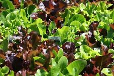 GOURMET CUT+COME AGAIN SALAD LEAF MIX BUMPER SEED DEAL THOUSANDS OF SEEDS