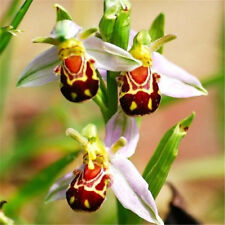 Rare!! Seeds Flower Smile Face Bee Orchid Flower Seeds Free Ship 10PCs ☆