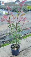 PROMOZIONE Photinia Red Robin h 40/60 cm vaso 18