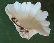 "HF1) Flat Bottom dish bowl GIANT CLAM SHELL Tridacna Hippopus 8-5/8"" Seashell"