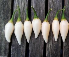 10 PEPPER SEEDS,Coyote Zan White (Capsicum chinense) - from Brazil.