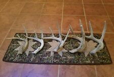 Lot of 5 Whitetail Deer Sheds Antlers