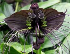 BAT FLOWER Tacca chantrieri understorey/indoor black flowers plant in 130mm pot