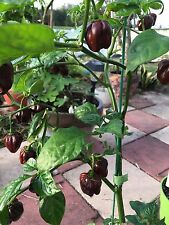 RARE ✿ Jamaican Chocolate Habanero Hot Pepper 15 Seeds ● Sweet Smoky Flavor