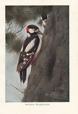 c1914 NATURAL HISTORY PRINT ~ SPOTTED WOODPECKER ~ LYDEKKER