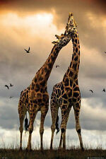 GIRAFFES KISSING - NATURE POSTER - 24x36 33864