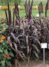 Pennisetum glaucum Purple Majesty Millet 25 seeds