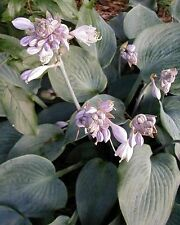 Halcyon Hosta Seeds!  COMB. S/H! MANY RARE HOSTA SEEDS IN OUR STORE!