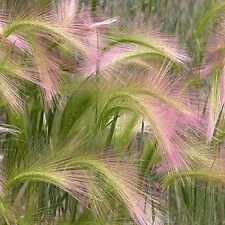 Foxtail Barley Ornamental Grass Seeds (Hordeum jubatum) 100+Seeds
