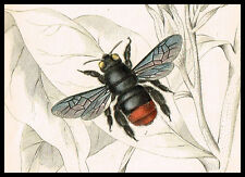 1845 Antique Print - Bees, C.Nobilis, Xylocopa, Grossa, Insects, Hand-Colored