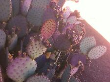 "Purple Prickly Pear Cactus (Opuntia Violacea) Three 6""-8"" Pads (Cuttings)"