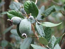 GUAYABO de FRAGOLA Feijoa Frutto Delizioso 10 Semi seeds graines