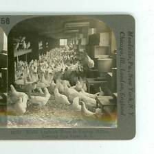 B852 White Leghorn Hens, Corning Egg Farm, Bound Brook, New Jersey D