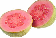 Live Red Guava Grafted Fruit Plant