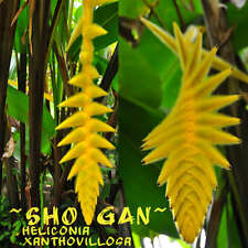 ~SHOGAN~ Heliconia xanthovillosa Collector's NEON YELLOW FLOWER 5 Heliconia Seed