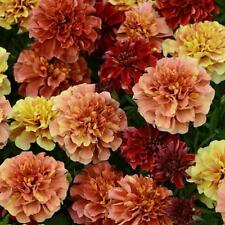 * FRENCH MARIGOLD  STRAWBERRY BLONDE  MULTIPLE COLORS ON ONE PLANT!  25 SEEDS