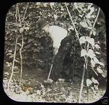 Glass Magic Lantern Slide EDWARDIAN GARDNER DIGGING AROUND BEANS C1910 L86