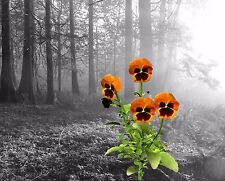 Orange Gray Pansies Home Decor Wall Art Photo Print B&W Bedroom Bathroom Pic