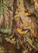 A4 Photo Horsfall 1919 Warblers Print Poster