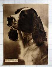 "1935 English Springer ""rosemullion Of Harting"" Bread By Lt Col Carrell"