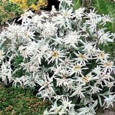 Edelweiss- Leontonpodium- 100 Seeds - 50 % off sale