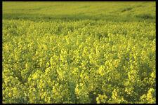 298088 Rapeseed Crop In Cranfield A4 Photo Print