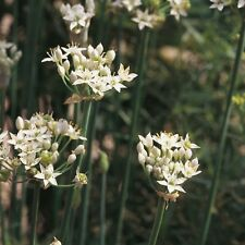 Herb Seeds - Chives Garlic - 2000 Seeds